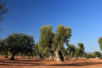 The Olive Oil Route