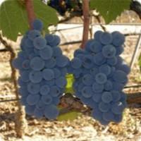 Tasting Salento wines